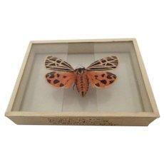 Apantesis Virgo The Virgin Tiger Moth Specimen Slide Mount Dated 1905