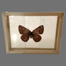 Dated 1909 Specimen Moth Butterfly Slide Mount Epidemia