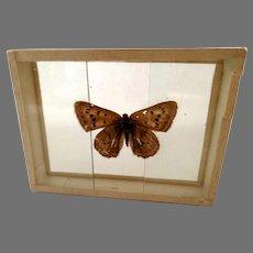 Dated 1909 butterfly Moth Specimen Slide Mount Chrysophanos Thoe