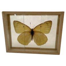 Eurymus Eurythemes Butterfly Moth Specimen Slide Mount