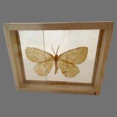 Xanthotype Crocataria Butterfly Moth Specimen Slide Mount Dated 1905