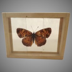Phyciodes Tharos butterfly Moth Specimen Mount Dated 1905
