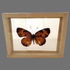 Dated 1905 Butterfly Moth Slide Mount Phygiodes Tharos Specimen