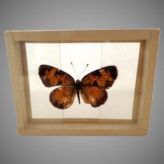 Dated 1905 Butterfly Moth Slide Mount Phygiodes Tharos Specimen