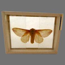 Anisota Rubicunda Specimen Butterfly Moth Slide Mount Dated 1905