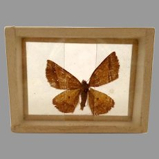 Dated 1905 Butterfly Moth Specimen Slide Mount Gonavontis  Obfirmaris B.1691