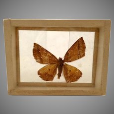 Dated 1905 Butterfly Moth Specimen Slide Mount Gonavontis  Obfirmaris B.1691