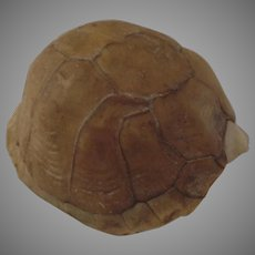 Box Turtle Shell Decoration