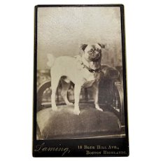 CDV Carte de Visite Photograph, The Original Pug Dog-Man's Best Friend.