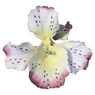 Capodimonte  Orchid