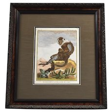 Antique Mangabey A Collier Blanc Original Old World Monkey Hand-colored Copper Engraving in Frame