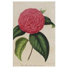 Vera Italian Camellia