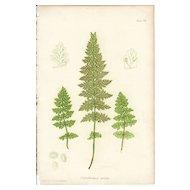 Bradbury Fern Botanical Print- Cystopteris Regia