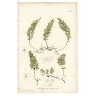 Bradbury Fern Botanical Print- Hymenophyllum Tunbridgense