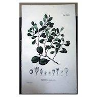 Flora Javae Botanical- XXVII