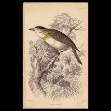 Jardine Cuvier's Thick-Bill