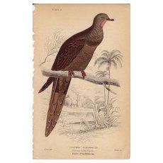 Jardine Pheasant-tailed Pigeon