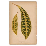 Lowe Beautiful Leaved Plants Botanical Print- Croton