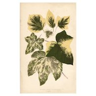 Lowe Beautiful Leaved Plants Botanical Print- Hedera