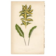 Lowe Beautiful Leaved Plants Botanical Print- Japonicus