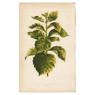 Lowe Beautiful Leaved Plants Botanical Print- Crataegus