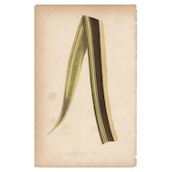 Lowe Beautiful Leaved Plants Botanical Print- Ananassa