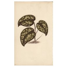 Lowe Beautiful Leaved Plants Botanical Print- Pothos