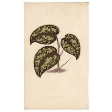 Lowe Beautiful Leaved Plants Botanical Print- Pothos