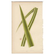 Lowe Beautiful Leaved Plants Botanical Print- Pandanus