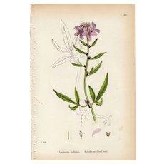 Sowerby Botanical Print- CVII