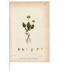 Sowerby Botanical Print- CXXXVIII- Yellow Alpine Whitlow-Grass