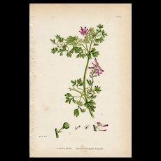 Sowerby Botanical Print- LXXII