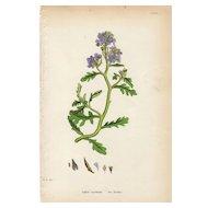 Sowerby Botanical Print- LXXIX