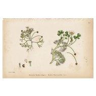 Sowerby Botanical Print- XXII