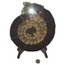 Hematized Ammolite Fossil