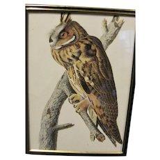 Framed 1966 Print of Audubon's Owl