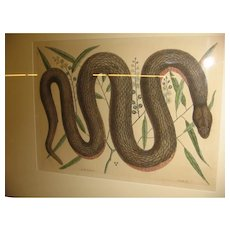 18th Century Mark Catesby Black Snake Print