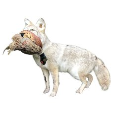 Coyote with Pheasant Full Double Mount Taxidermy