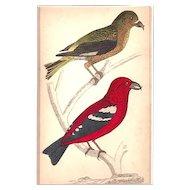 Matted Victorian Bird print with original Hand-coloring: Crossbills