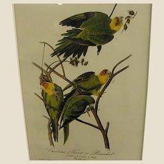 1840s Audubon 1st Royal Octavo Edition Carolina Parrot