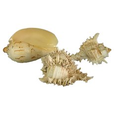 Collection of Three Beautiful Natural Seashells