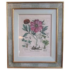 Early 17th Century Botanical Print with hand coloring by Basil Besler RARE