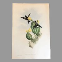 "21"" John Gould Print Gould and Richter England 1850's Hummingbird Lithograph Eriocnemis Simplex Olivecolored Puffleg"