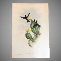 "21"" John Gould Print Gould and Richter England 1850's Hummingbird Lithograph Eriocnemis Simplex Olivecolored Puffleg"