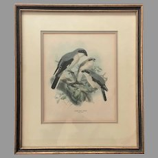 "VICTORIAN c. 1871 Lithograph England - Lesser Grey Shrike Lanius Minor -- Framed Matted  John Gerrard Keulemans - 15 1/2"" x 18"""