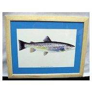 Sea Run Brown Trout Framed Fish Print
