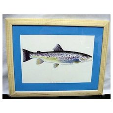Sea Run Brown Trout Framed Fish Print Fly Fishing Outdoors