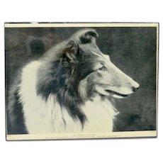 Vintage Photo Illustration Champion Collie Dog c. 1935