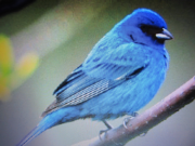 The Blue Canary