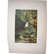 1885 Color Lithograph Bird Plate by Prang